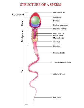 structure of spermatozoon Stock Illustratie