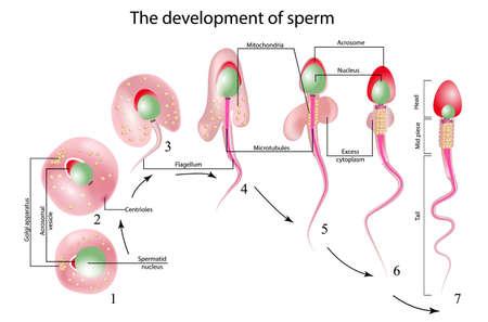 Le développement du sperme, la cellule de sperme humain Structure de l'anatomie du spermatozoïde Banque d'images - 93455179