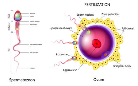 Fertilization is the union of an ovum and a spermatozoon. When a sperm contacts the surface of an egg.