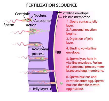 Fertilization is the union of an ovum and a spermatozoon. Vector Illustration