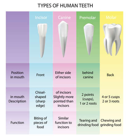 Types of Teeth Realistic Vector Concept Various Human Teeth with Roots, Molars, Premolars, Canines, Incisors Anatomical 3d Illustration for Medical Infographic, Oral Health Chart 일러스트