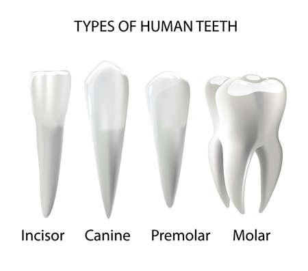 Tipos de dientes Concepto de vector realista Varios dientes humanos con raíces, molares, premolares, caninos, incisivos Ilustración 3d anatómica para infografía médica, tabla de salud bucal