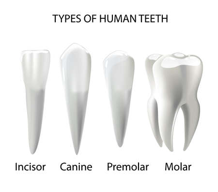 Types of Teeth Realistic Vector Concept Various Human Teeth with Roots, Molars, Premolars, Canines, Incisors Anatomical 3d Illustration for Medical Infographic, Oral Health Chart 向量圖像