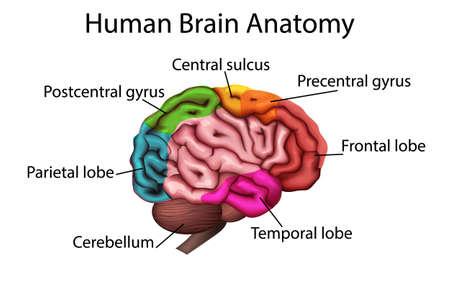 Ilustración médicamente exacta del cerebro, estructura anatómica vector 3D