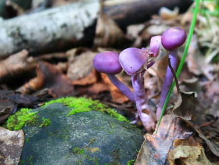 violet toadstools next to a stone in moss on a background of dry brown