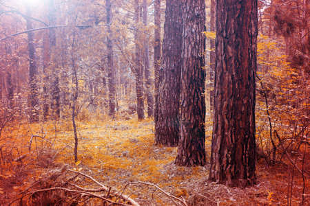 Pine trees in the autumn forest. Bright orange Autumn landscape