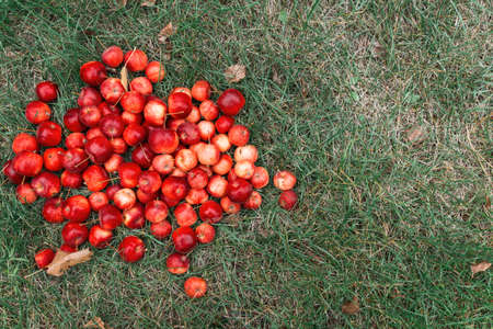 Many ripe red crab apples lie on the grass, top view. The natural background. The concept of harvesting
