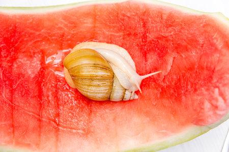 Giant snail Achatina fulica. The snail crawls around on a red watermelon peel 版權商用圖片