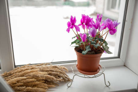 A beautiful pink cyclamen flower stands in a brown pot on the windowsill. Concept: gardening is a hobby. Stock Photo