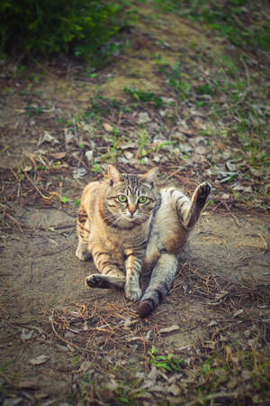 A brown tabby cat with green eyes sits on the ground with its hind leg raised up. Tabby cat color