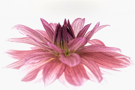 Violet rad dahlia isolated on white background