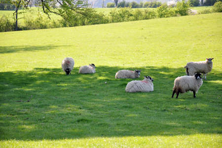 A group of white sheep grazing in a green field photo