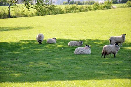 shepherd sheep: A group of white sheep grazing in a green field