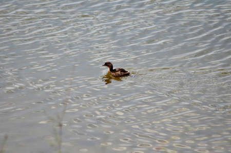 water fowl: duckling swimming in the river