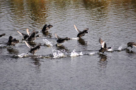 fowl: flock of water fowl  touching down on water Stock Photo