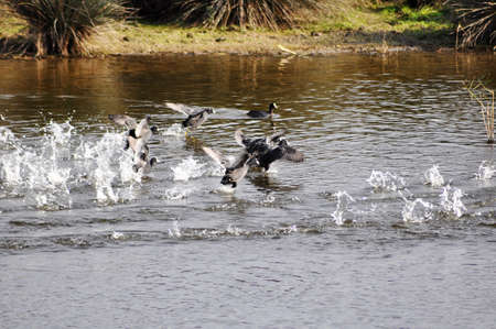 water fowl: flock of water fowl splasing in the river Stock Photo