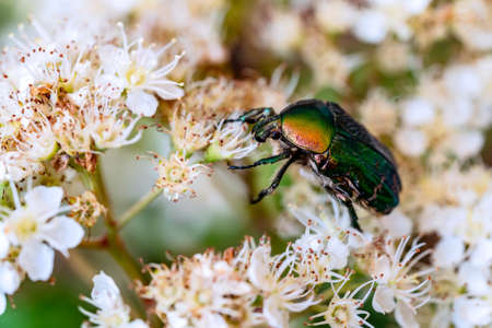 Green beautiful beetle sits on a white flower in a summer garden, Macrophoto of flower scarabs Stock Photo