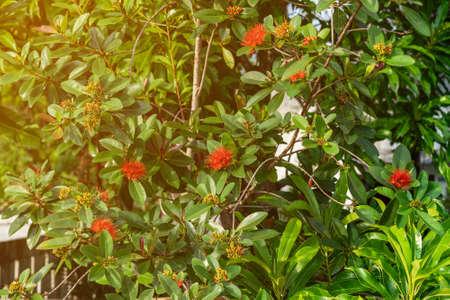 Flowers Ixora coccinea - family Rubiaceae.