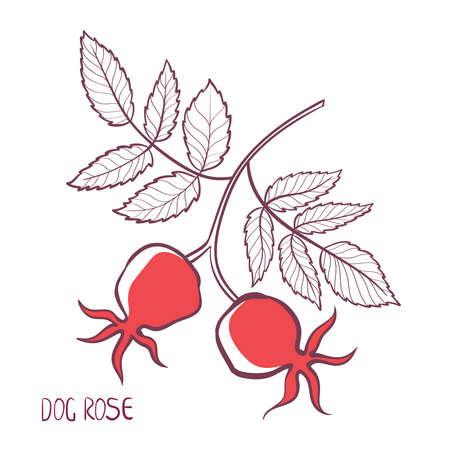 Stylized sketch of a rose branch with leaves and berries. Isolated.