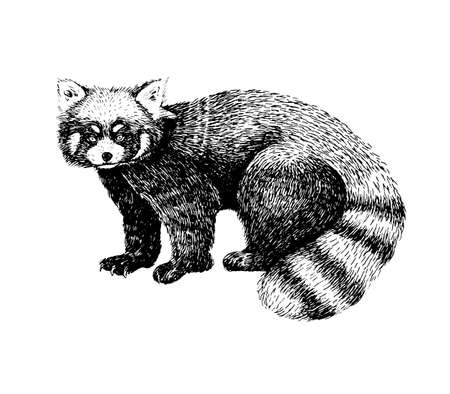 Red panda hand drawn image. Sketch style picture. Made with ink liner. Cute black and white animal. Illustration