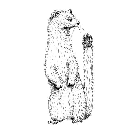 Sketch line art drawing of ermine. Black and white vector illustration. Cute hand drawn animal. Vettoriali