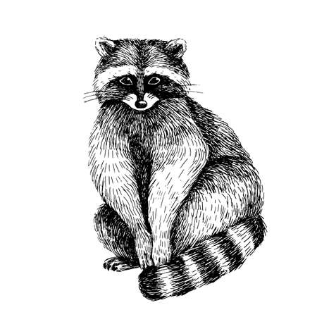 Raccoon. Hand drawn sketch line art image in black and white. Vettoriali