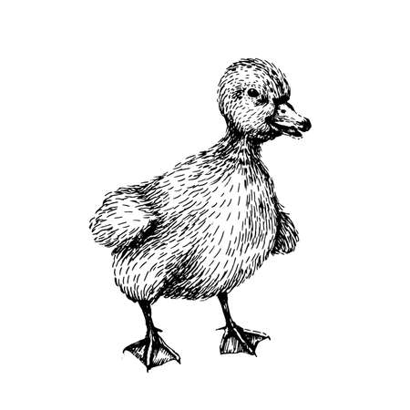 Baby farm animal. Domestic. Little cute baby duck. Vintage style. Vector illustration. Hand drawn sketch line art image. BLack and white.