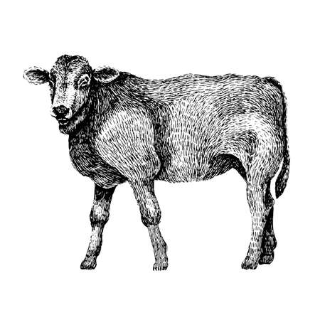 Cow. Hand drawn illustration of beautiful black and white animal. Line art drawing in vintage style. Realistic image.