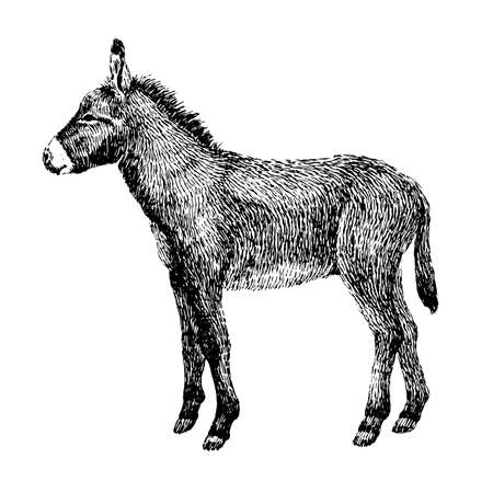 Donkey sketch style. Hand drawn illustration of beautiful black and white animal. Line art drawing in vintage style realistic image.