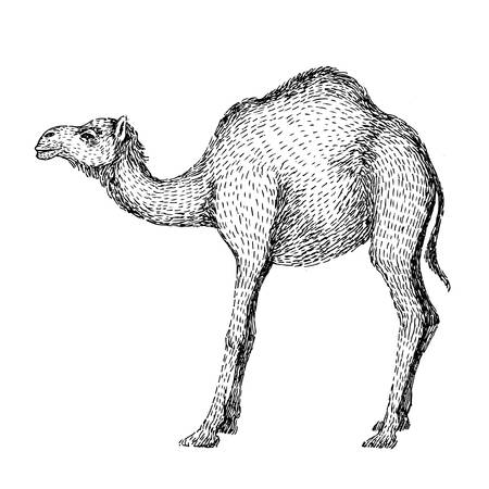 Camel. Hand drawn vector illustration. Can be used separately from your design. Line art style of drawing, hand made with ink pen. Black and white image.