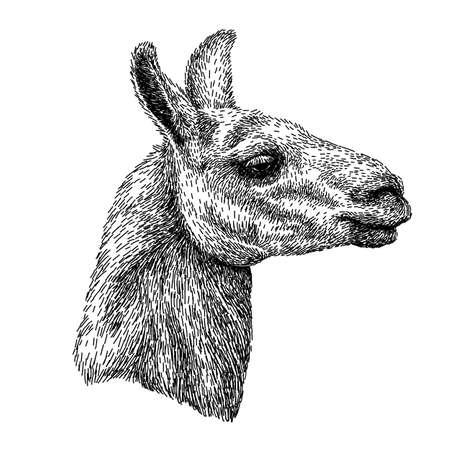 Handgezeichnete realistische Skizze von Lama Alpaka, Schwarz-Weiß-Zeichnung, isoliert auf weiss. Vektor-Illustration. Bild im Vintage-Stil.