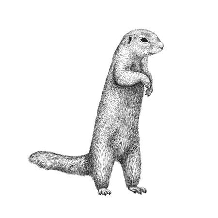 African ground squirrel drawing in sketch style. Hand drawn illustration of beautiful black and white animal. Line art drawing in vintage style. Realistic image of a stand up squirrel.