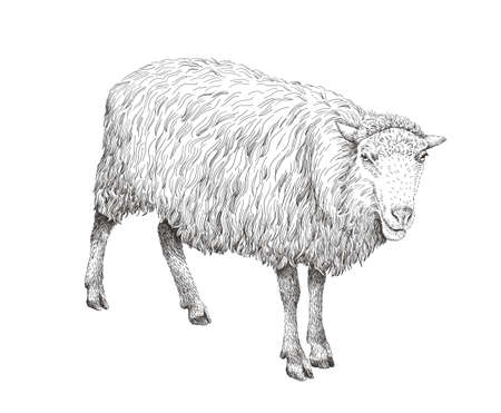 Sheep sketch style illustration. Hand drawn image of beautiful black and white farm animal. Line art drawing in vintage style. Realistic drawing. Çizim