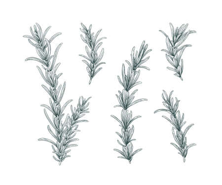 Line art rosemary branches set. Sketch floral illustration isolated on white background. Hand drawn line art retro botanical clipart. Aroma herbs drawing collection. Elegant set of floral elements.