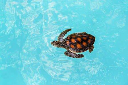 one young turtle swims at the turtle farm in tanzania Редакционное