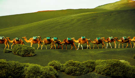 caravan of camels coming on the green hills Редакционное