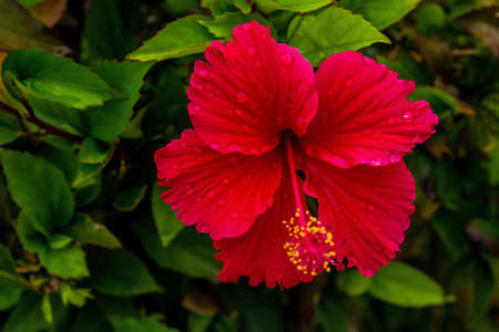 hibiscus flower on a bush in a wilde nature