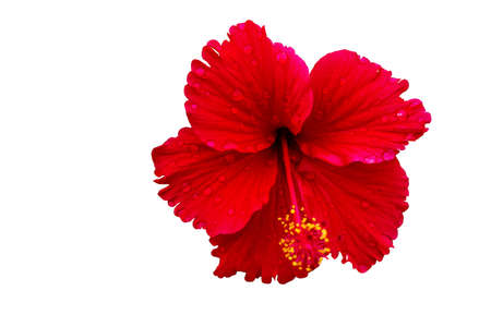 hibiscus flower on a white background 写真素材