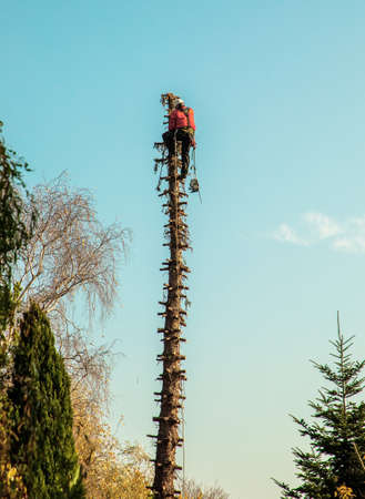 unrecognizable lumberjack at the top of a tall pine tree without branches cuts off a part of tree on a sunny day
