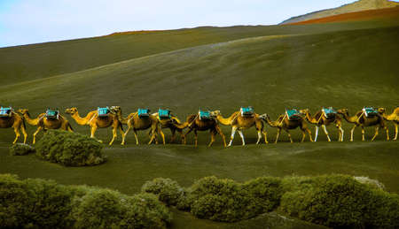 camel caravan with passenger seats on its back walking on a green hill Banque d'images
