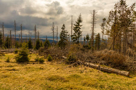dried and felled trees in a coniferous forest in early spring on a sunny day and a cloudy sky