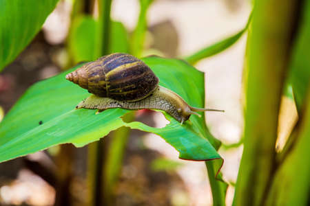 Achatina snail in a natural wild African environment crawing on a large green leaf on a sunny day in the shade