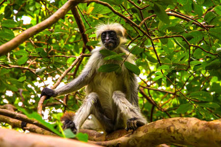 Wild monkey sits in the wild in the African jungle in Zanzibar and looks into the camera. Close up shot. Stock Photo