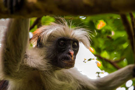 Wild monkey sits in the wild in the African jungle in Zanzibar and looks into the camera. Close up shot. Imagens