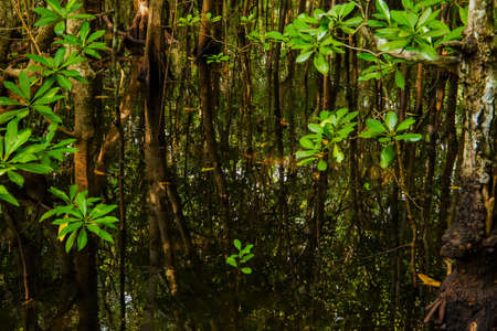 mangrove trees with green leaves and long roots growing in fresh water summer sunny day