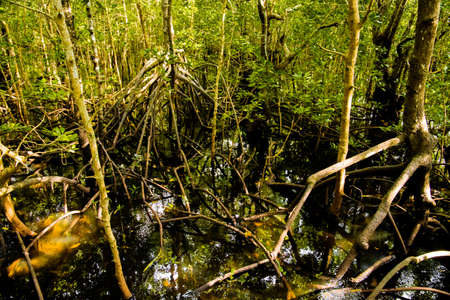 mangrove trees with green leaves and long roots growing in fresh water summer sunny day  Фото со стока