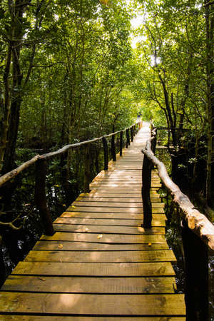 mangrove trees with green leaves and long roots growing in fresh water summer sunny day and wooden bridge stretching away