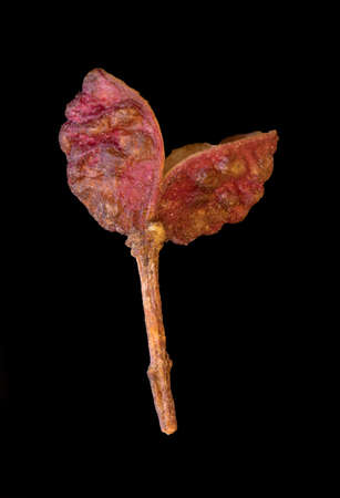 super macro shot one beautiful dark pink berry sichuan pepper isolated on black background very close