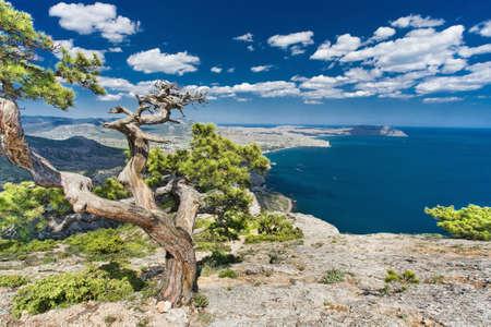 rocky mountain juniper: pine on a rock in Crimea Stock Photo