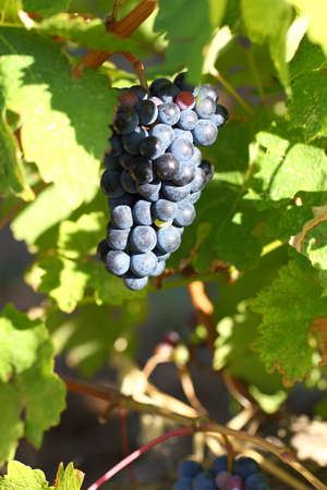 Grape cluster with blue dark berries hanging and ripening on a bush with leaves. Bokeh effect.